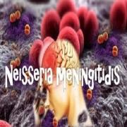Vi khuẩn Neisseria Meningitidis gây viêm não mô cầu